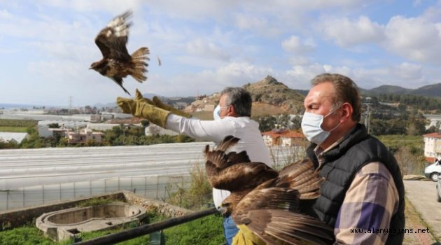 Alanya'da tedavisi tamamlanan 3 şahin doğaya salındı