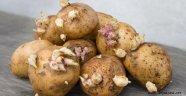 Dikkat! Filizlenen patates öldürebilir