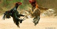 Alanya'da horoz dövüştürenlere şok baskın!