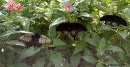 Alanya'da o bahçeyi kelebekler istila etti