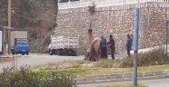 Alanya'da develer sokak ortasında çiftleştirildi