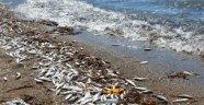 Alanya'da Ölü Balık Paniği!