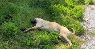 Alanya'da pati isimli köpek zehirlenerek öldürüldü!