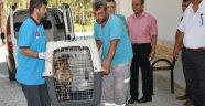 Kedi ve Köpek'ten Sonra Yaban Keçisi Tedavisi Başladı