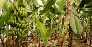 Muz Üretimi 5 Yılda Yüzde 177 Arttı