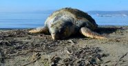 Sahile Caretta Ölüsü Vurdu